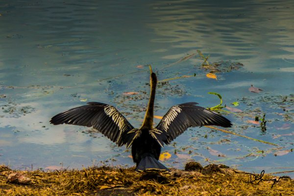 Anhinga...playing Moses!